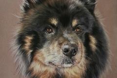 Jinn - chien finnois de laponie