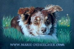 Gachette - border collie