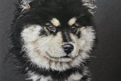 Nanook - chien finnois de laponie